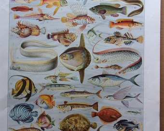 Vintage - page illustrated - fish and the year 1900