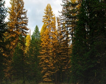 Grove of Western Larch on a Dirt Road, Tamarack Forest Photo, Eastern Washington Photography, Evergreen Forest, Yellow Tamarack Trees