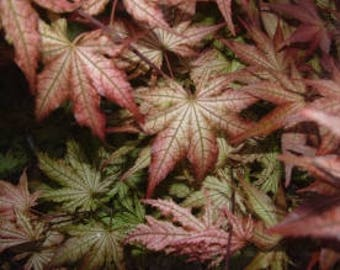 Peaches & Cream Variegated Grafted Japanese Maple