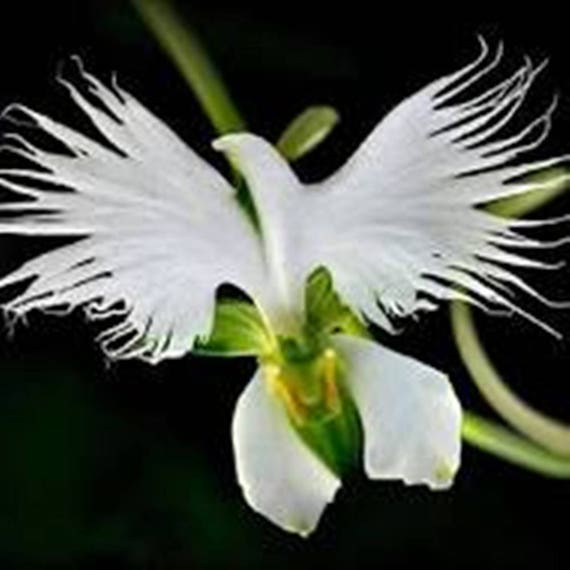 orchidee blanche colombe