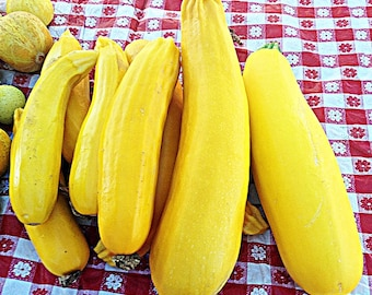 Golden Zucchini Heirloom Summer Squash Seeds Non-GMO Early Variety Rare Naturally Grown Open Pollinated Gardening