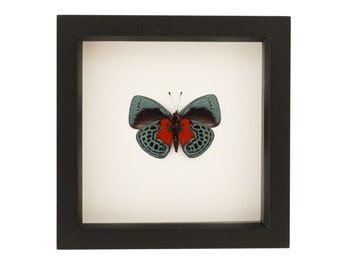 Framed Butterfly Callithea Optima Insect Display