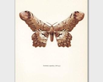 "Faux Bois Print, Butterfly Art (Monochrome Wall Art, Golden Brown Room Decor) Vintage Butterfly Print --- ""Silk Moth"" No. 56-2"
