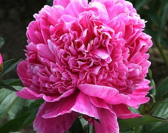 Classic rare and unusual flower bulbs and by dannypleasantgardens peony lactiflora alexander fleming large 3 5 eye root plant perennial flowers usda mightylinksfo