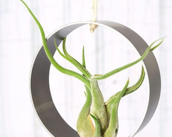 Air plant (Tillandsia, air plant) suspended in a stainless steel ring