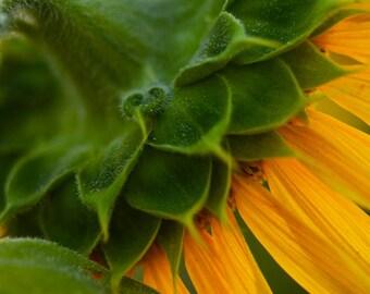 sunflower photo, newbury, sunflower decor, sunflower photo, sunflower photography, sunflower art, flower art, flower photo, yellow decor