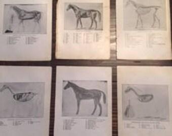 Set of 6 Antique Horse Anatomy Prints - 1914