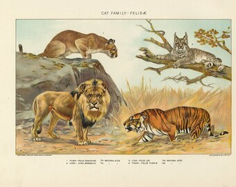 Vintage 1907 Book Plate — Cat Family - Felidae