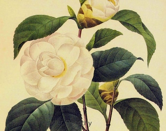 Camellia Japonica Alba Plena Flower Vintage Lithograph Poster Print Redoute Botanical Lithograph To Frame 54