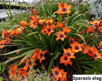 Sparaxis elegans / 5 seeds (Harlequin Flower)
