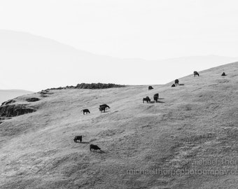 cattle cows grazing ranch farm hills peaceful fine art photography black and white