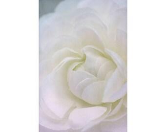 Soft White Ranunculus Flower Photograph, Floral Art Print, Pastel Home Decor, Flower Wall Art