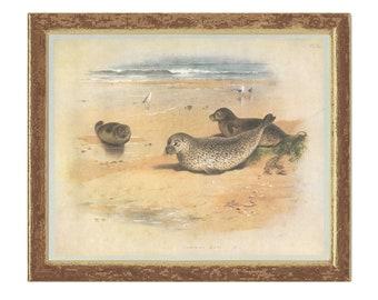 Common Seal, Vintage Print, Thorburn, 1979/14, Natural History, Woodland, Frameable Art