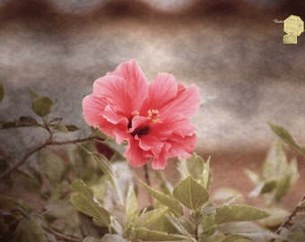 Vintage Hibiscus in Sunrise Photograph by Colleen