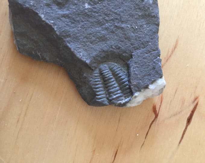 USA Cambrian Trilobite fossil in Matrix Small  No. 018