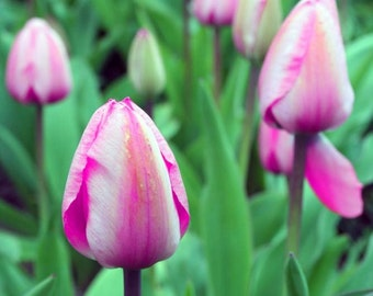SALE! Feels like spring -Pink tulips 5 x 7 fine art print