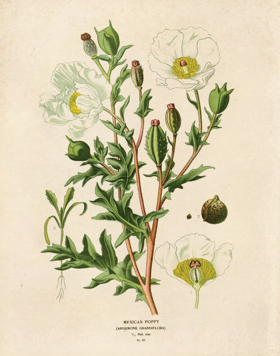 Vintage Flower Botanical Print Reproduction Mexican Poppy