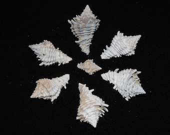 Seven Mini Fossilized Shells Pliocene to Late Miocene 1.7 - 5+ Million Years