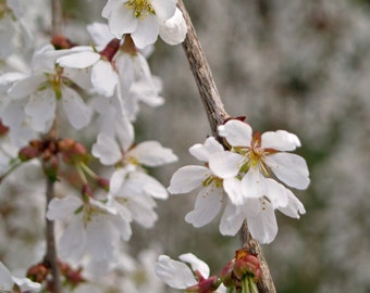 White Flowers photography - White Weeping Cherry, New England spring, nature photography, fine art print,shabby chic, floral wall art