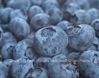 Jersey Blueberry Plants - 9-16 Inch Tall Potted Plants - State Inspected