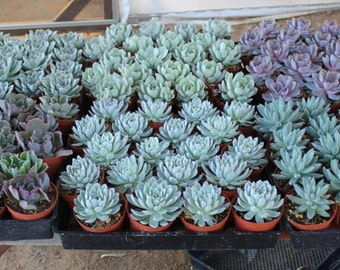 """50 Gorgeous Rosette ONLY Succulents in their 4"""" plastic containers wedding shower FAVORS party gifts plants succulent"""