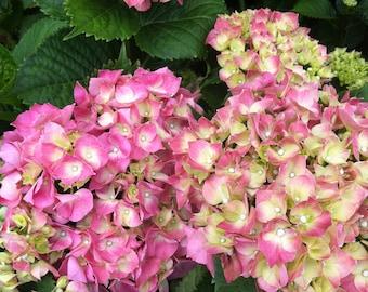 SUMMER BLUSH, photography, hydrangea, flowers, nature, Gaia, goddess, art, stilllife, pink, zen, floral, healing energy, feminine, pastel