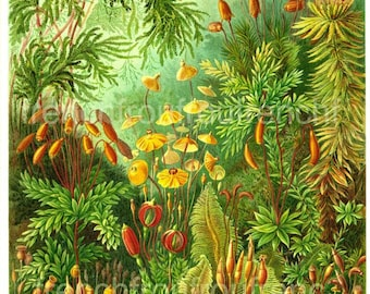 antique victorian botanical print mosses plants muscinae illustration ernst haeckel digital download