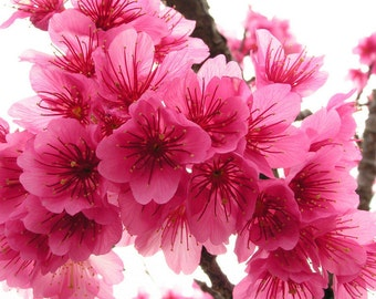 JAPANESE CHERRY BLOSSOM - 2, or 4 fl oz - Floral Fruity Perfume for Women - Accords;  Floral, Woody, Fruity, Fresh, Musk