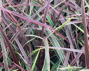 Cordyline australis 'Can Can'