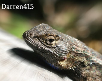 Beautiful Western Fence Lizard Close Up With Zoom Burst High Quality Photograph