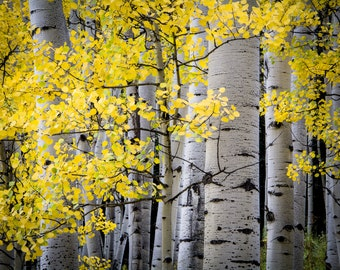 Aspen tree photo, fall tree art, yellow gold leaves, fall decor, Colorado wall art,  rustic home decor, fall aspen trees   Ohio Pass Gold