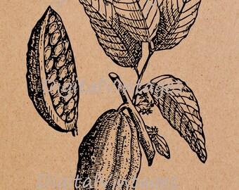 Cacao Chocolate Plant Vintage Illustration Antique Digital Image Download Printable Clip Art Transfers Prints HQ 300dpi jpg png svg