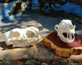 Coyote Skull/Animal skull/Real Skull/ (skull only)