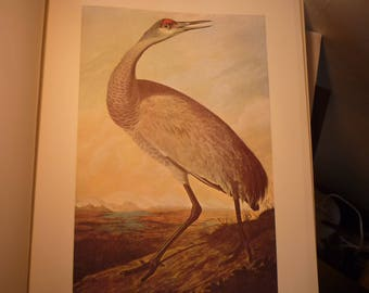 Sandhill Crane - Audubon Color Plate from original 1852 print - Boston painting - gift for birders - nature lovers - 10 by 13 inch prinnt