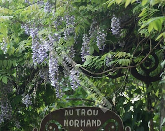 Normandy France Wisteria color photograph