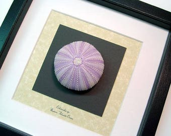 Real Framed Museum Collection Echinoidea Sp Purple Large Purple Sea Urchin Seashell S1515PUR