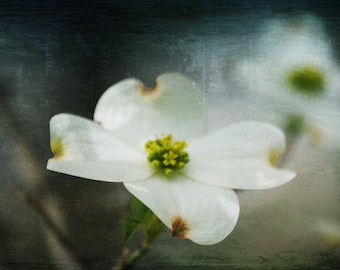 Promise of a New Day - White Dogwoom Bloom - Nature - Fine Art Photograph by Kelly Warren