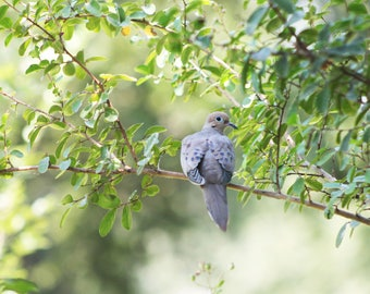 Photograph Canvas Dove