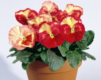 APA) ICE CREAM Hyb. Blend Pansy~Seed!~~~~~~~~Each Flower is Unique!