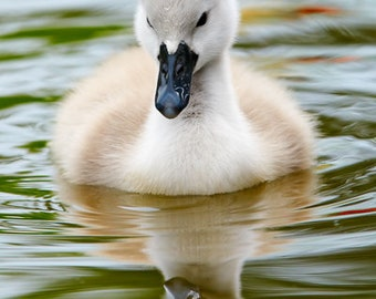 Cygnet Greeting Card