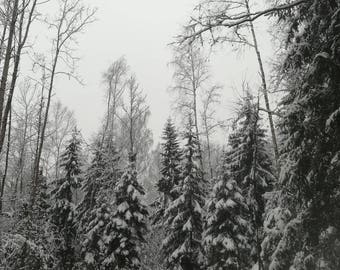 Instant download, forest, snow forest, trees, snow, winter