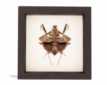 Framed Praying Mantis Deroplatys lobata Insect Display