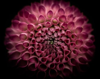 Dahlia | Photo | Wall Art | Flower | Digital Download