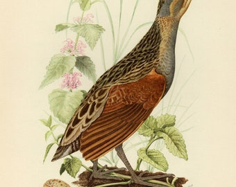 Vintage lithograph of the corn crake, corncrake or landrail from 1953