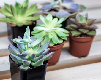 2 Inch Succulent Assortment - Perfect for Terrariums!