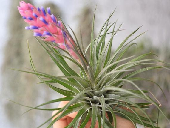 Terrario planta aire Tillandsia Stricta Compacta, terrario plantas ...