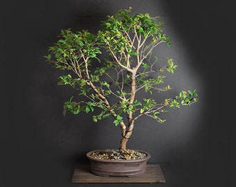 "Jabaticaba Bonsai Tree, Fruiting Collection by LiveBonsaiTree"""