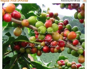Coffea racemosa Tree 10 Seeds Coffee NON GMO Natural Seeds fragrant flowers easy container plant indoors or out Stays small and Prolific 4'