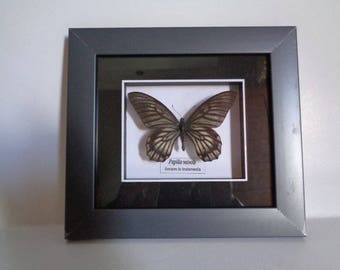 1 Real butterfy in acrylic frame for home decoration, gift..