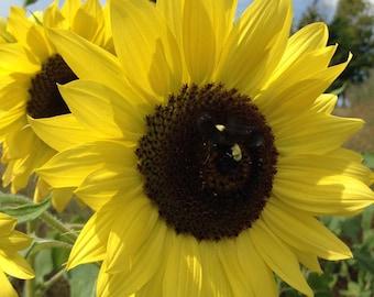 Lemon Queen Sunflower Seeds, Helianthus annus Seeds, Yellow Sunflowers, Great for Cut Flower Gardens and Market Gardening